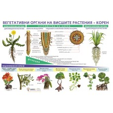 Vegetative organs of higher plants - root