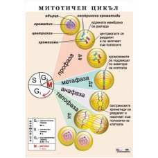 Mitotic cycle